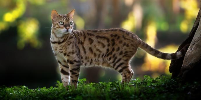 Bengal kedisi türünün fiziksel özellikleri
