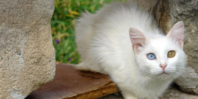 Van kedisi türü kediler nasıl sahiplenilir?