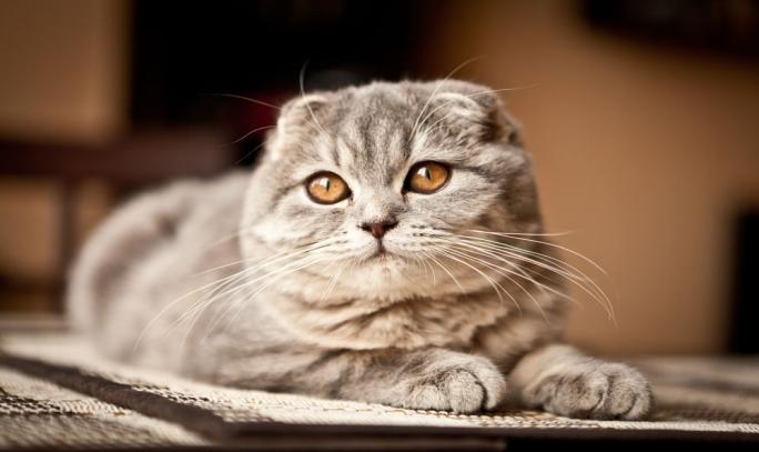 Scottish Fold Kedi Cinsi ve Özellikleri