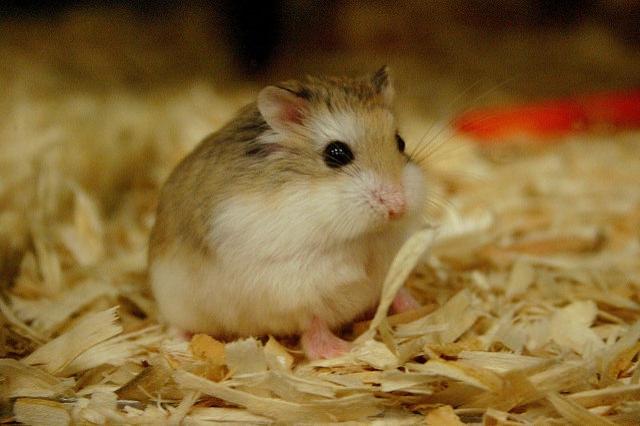 Hamsterın sağlıklı olduğu nasıl anlaşılır?