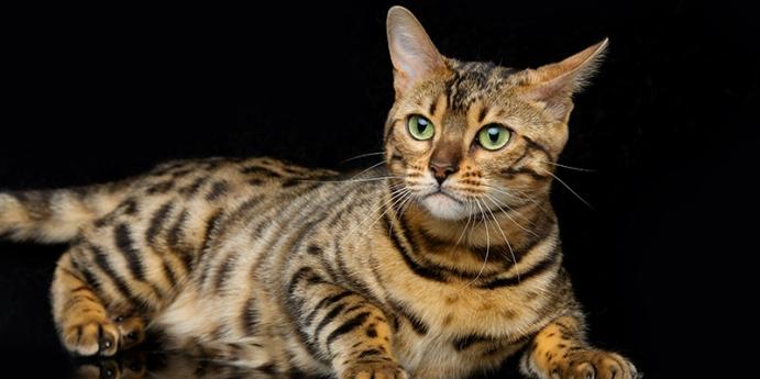Bengal kedisi türünün karakteristik özellikleri