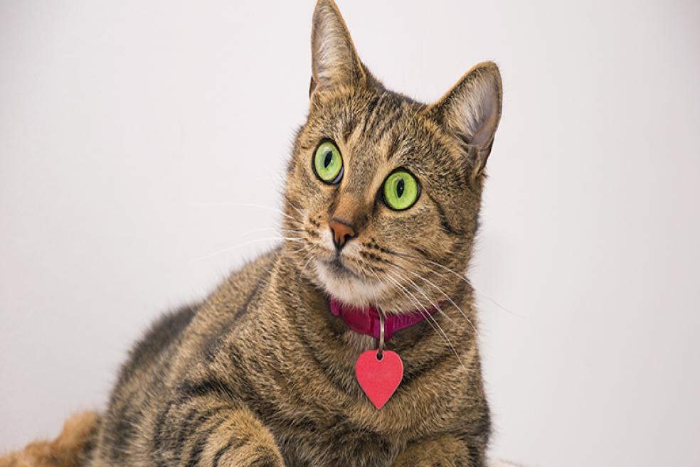 Kedi Tasması Nedir ve Neden Önemlidir?