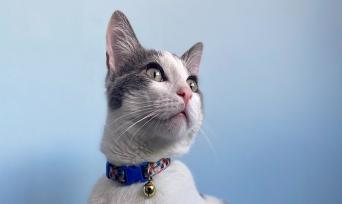 Kedi Pire Tasması Nedir? Nasıl Kullanılır?