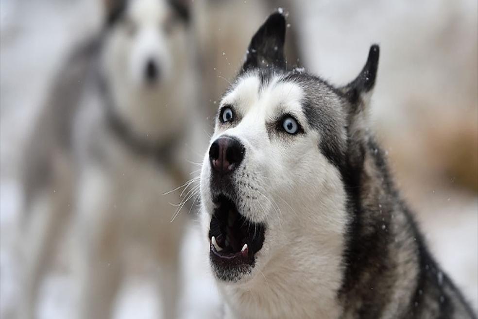 Köpek Havlaması Ne Anlama Geliyor