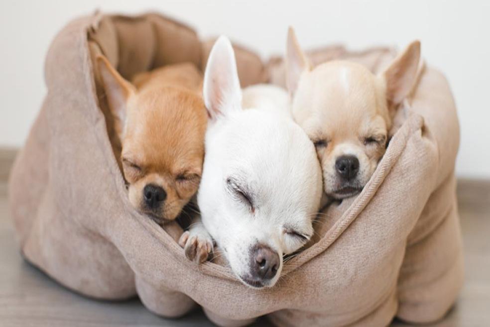 Dünyanın En Küçük Köpek Türleri