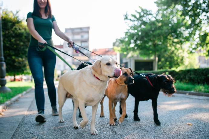 Köpek gezdirme işi yapmak için herhangi bir eğitime gerek var mıdır?