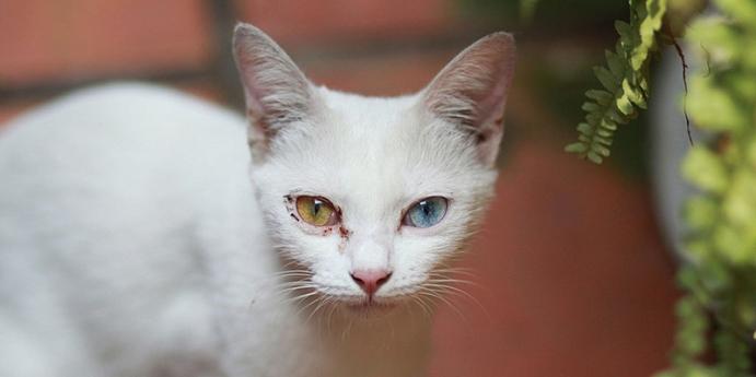 Van kedisi türünün karakteristik özellikleri