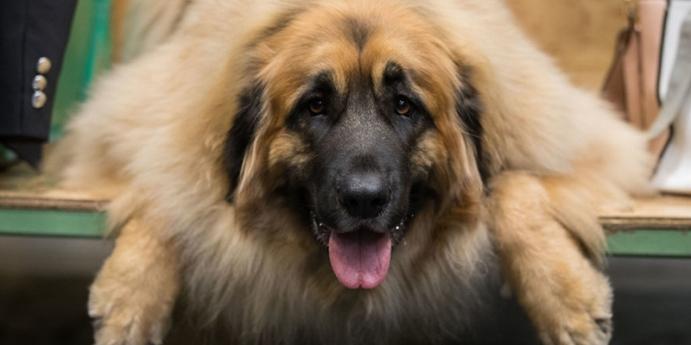 8. İngiliz Mastiff