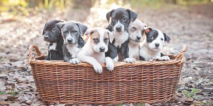 Yavru köpeklerin temel özellikleri