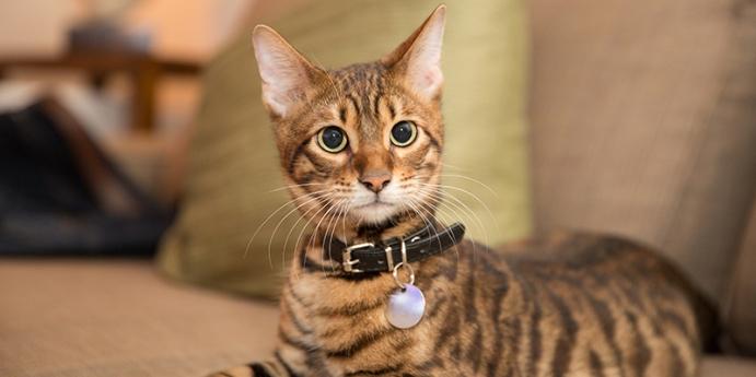 Neden kedi tasması kullanılmalıdır?
