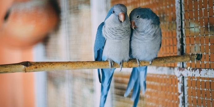 Muhabbet kuşu konuşma eğitimi