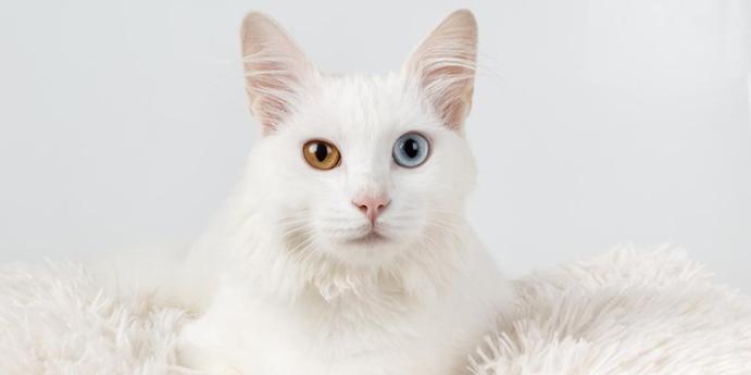 Van kedisi bakımında dikkat edilmesi gerekenler