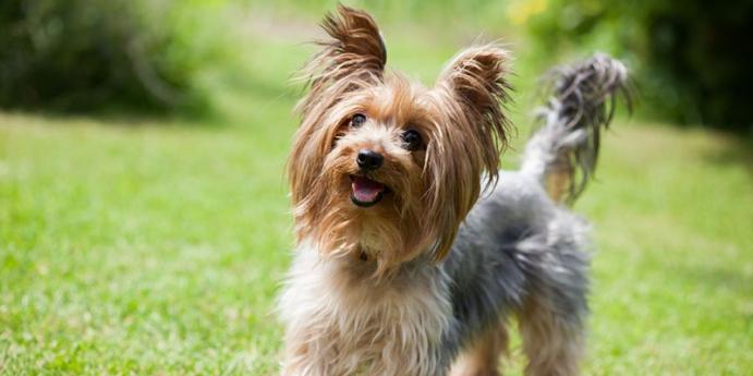 5. Yorkshire terrier türü