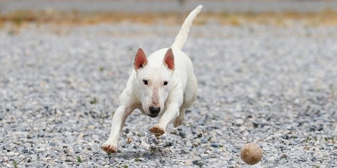 6-  Bull Terrier