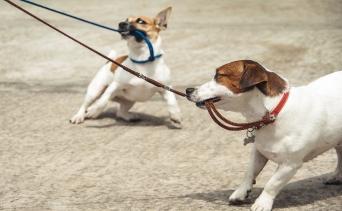 Köpeğimizin Tasmasını Çekiştirmesini Nasıl Durdururuz?
