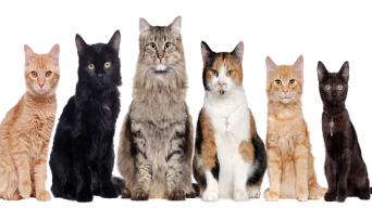 Kedi Irkları Nelerdir? Görseller ve Açıklamalar ile Anlatım