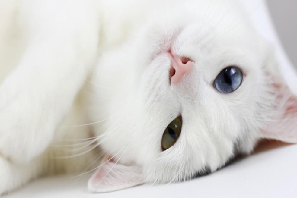 Van Kedisi Cinsi ve Özellikleri Nelerdir?