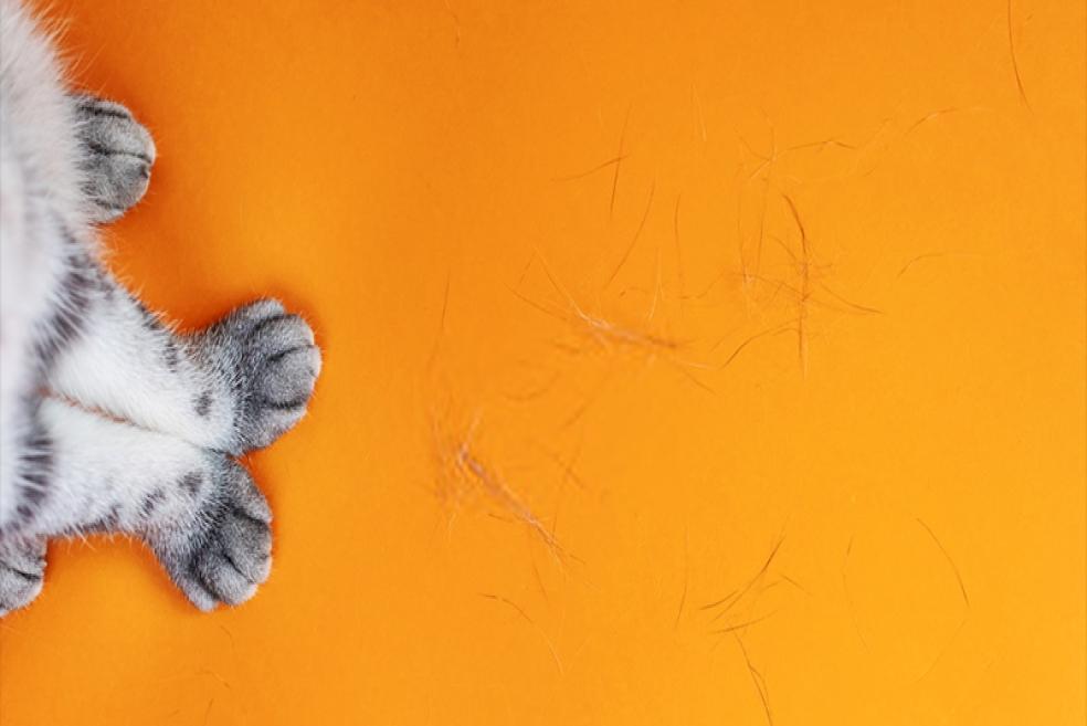 Kedilerde Tüy Dökümü Nasıl Engellenir?