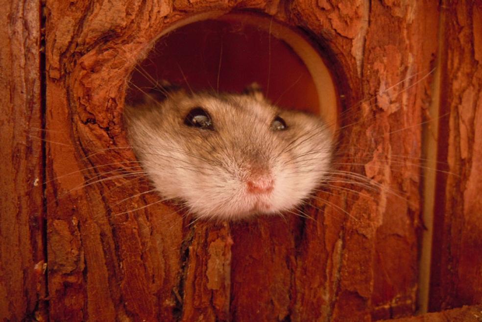 Hamsterlar Hakkında Bilinmeyenler ve Bakım Tavsiyeleri