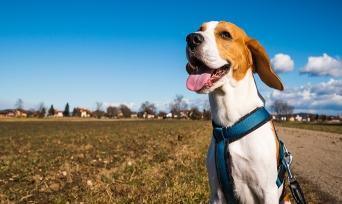 Köpekler Neden Gezmeye Çıkmak İsterler?
