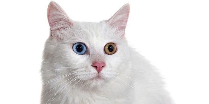 Van kedisi türünün kızgınlık ve yavruluk dönemi