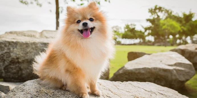 7. Pomeranian türü