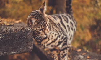 Bengal Kedisi Cinsi ve Özellikleri Nelerdir?