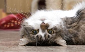 Kedinizin Sizi Sevdiğini Gösteren 6 Hareketi