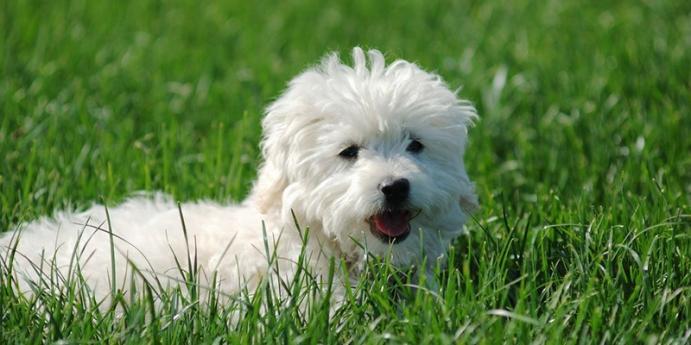 1. Malta köpeği türü