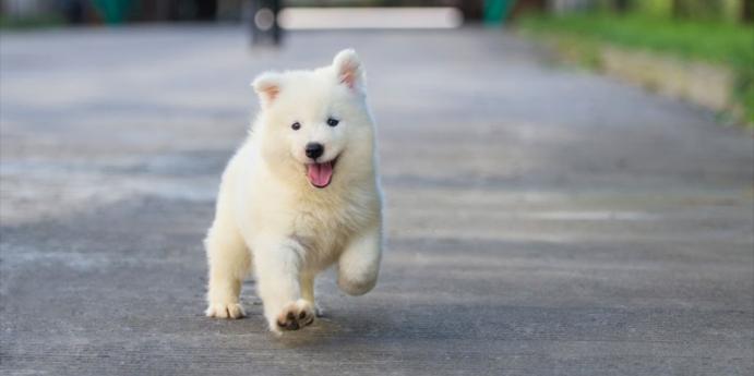 Yavru köpekleri eve alıştırmak