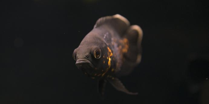 8- Astronot balığı