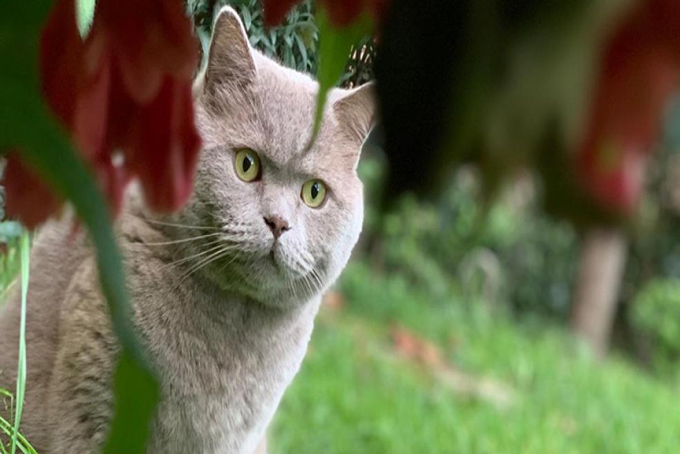 British Shorthair Cinsi ve Özellikleri