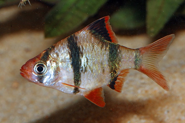 Puntius Tetrazona (Tetrazon - Kaplan Barb)