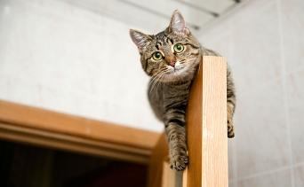 Kediler Neden Yüksek Yerlere Tırmanırlar?