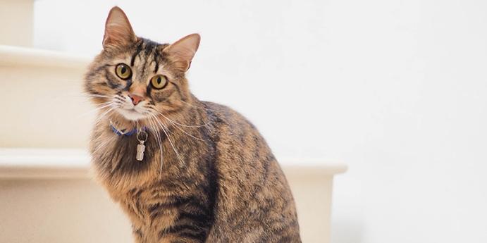 Kedi pire tasması nasıl kullanılır?