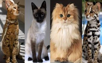 Dünyanın En Sevilen 9 Kedi Cinsiyle Tanışın