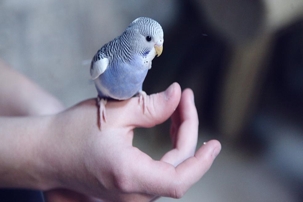 Muhabbet Kuşu Nasıl Konuşturulur? Uzmanından Tavsiyeler!