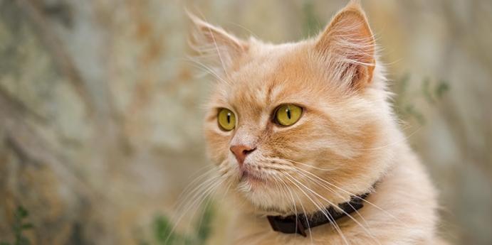 Kedi tasması hakkında bilinmesi gerekenler nelerdir?
