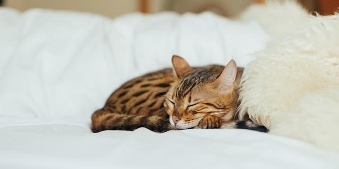 Bengal kedisi bakımında dikkat edilmesi gerekenler